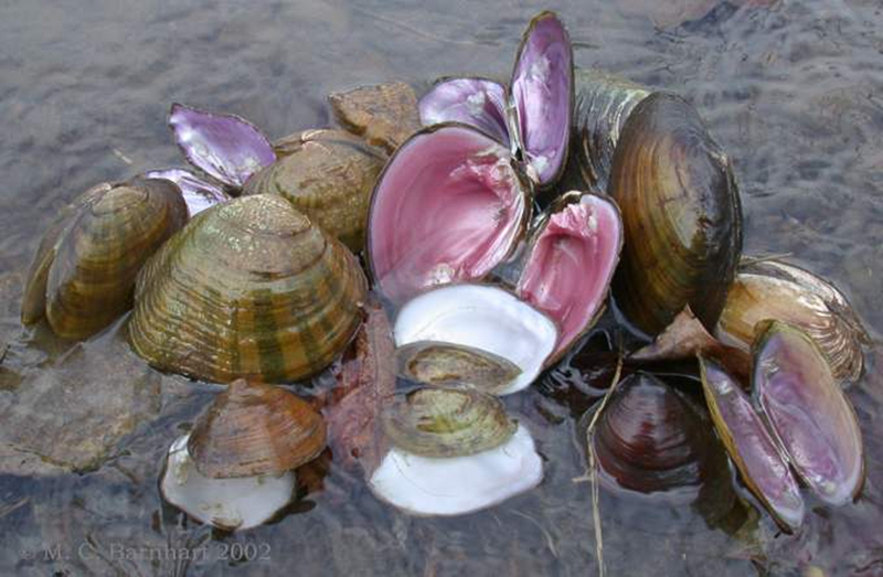 An array of diverse freshwater mussels from one river in the United States. Photo: Dr. M. Chris Barnhart, copyright 2002.