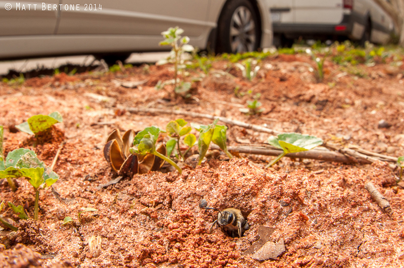 A bee peers out from its nest in the ground.