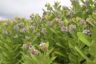 Common Milkweed in flower.