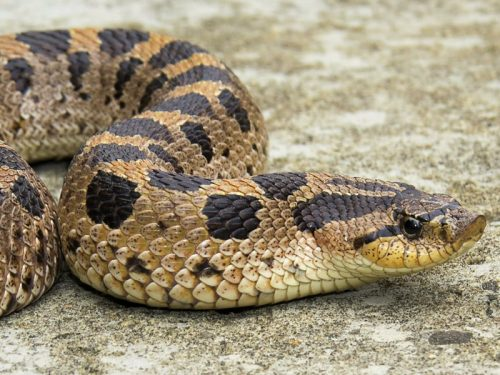 Southern Hog-nosed Snake Reproduction and Nesting