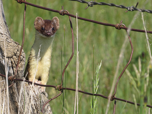 Museum researcher contributes to study tracking weasel declines in US, Canada
