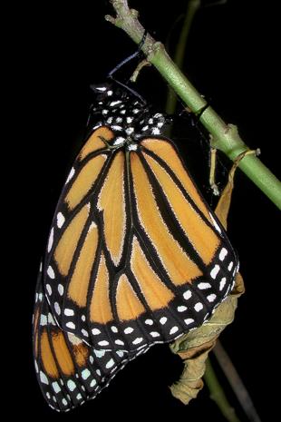 Monarch butterfly fresh emergence