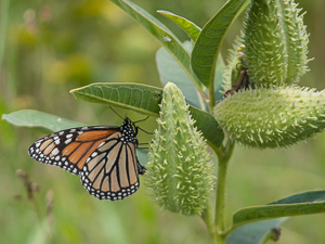 Native Plants for North Carolina Butterfly Gardens