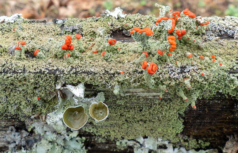 Assortment of lichens on a fence rail.