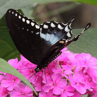 Spicebush Swallowtail (on Summer Phlox).