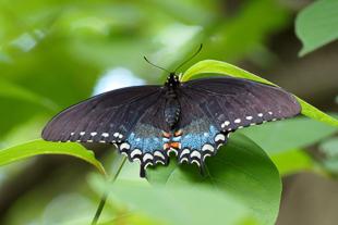 Spicebush Swallowtail Butterfly.