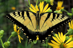 Male Eastern Tiger Swallowtail on Cup Plant.