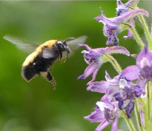 A bumblebee at a purple flower