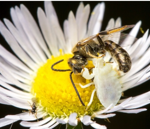 A bee and a bug fighting on a daisy