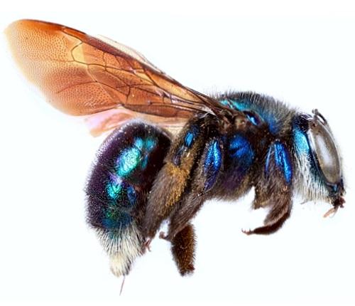 A blue metallic carpenter bee