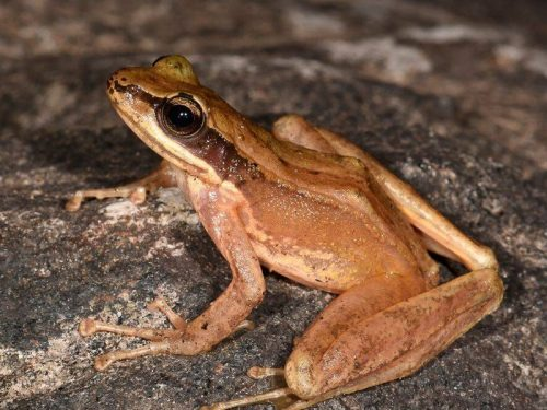 Museum researcher helps discover new species of frog in India