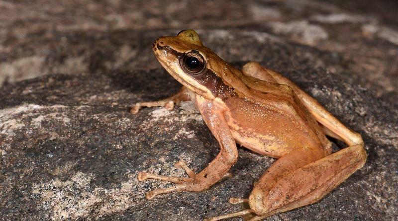 Adi cascade frog