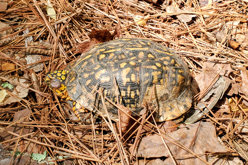 The turtle was still there on April 11, with a swollen eye.