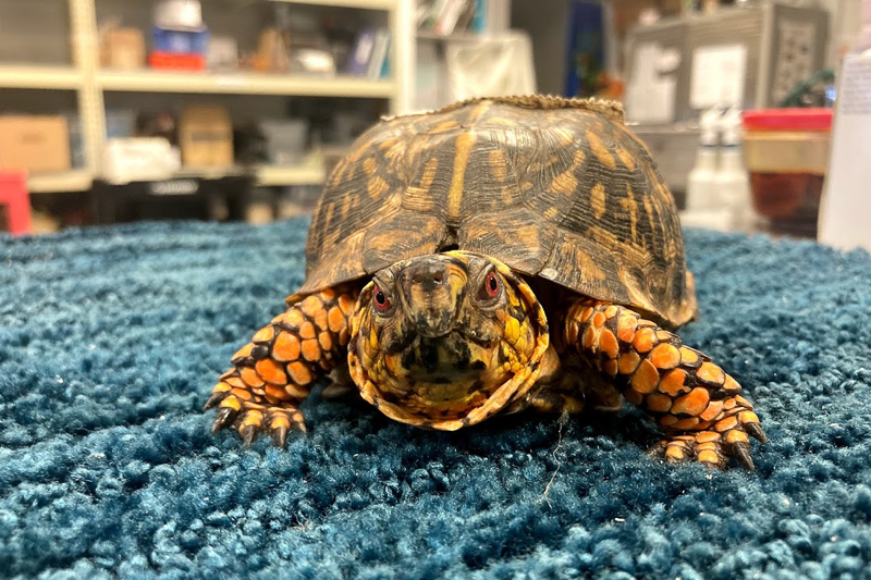 Getting the spa treatment in the lab. Photo by Rachel Carpenter, Turtle Rescue Team.
