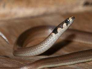 Unearthing the species diversity of a cryptozoic snake
