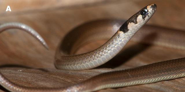 Tantilla melanocephala, snake specimen from Tobago, Pigeon Point.