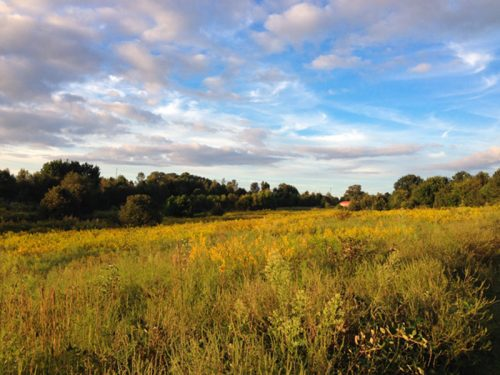 The Goldenrods of Prairie Ridge