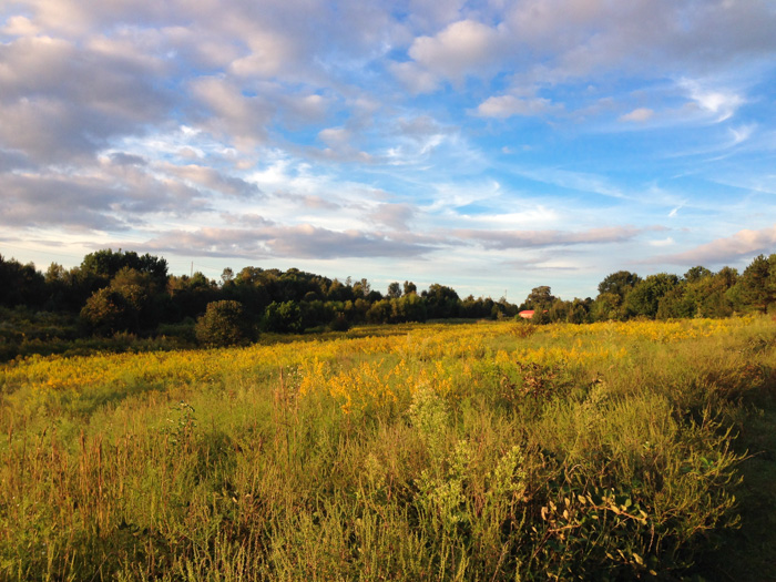 A field of goldenrods at Prairie Ridge. Photo: Chris Goforth.