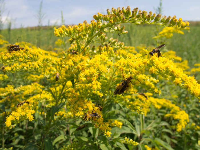 Pollinators enjoy the nectar provided by this late-blooming plant.