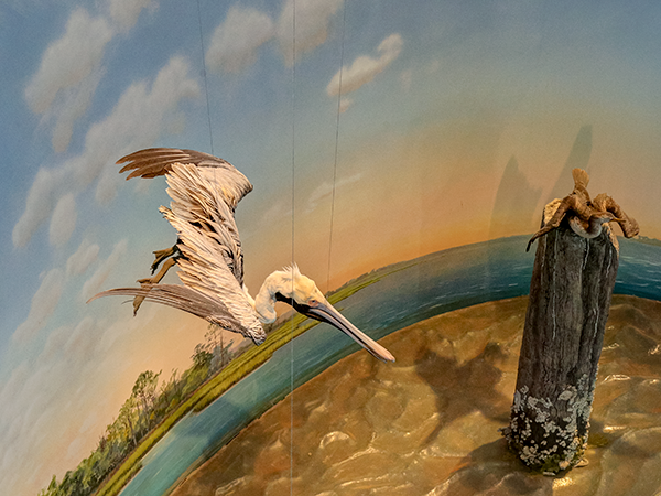 Brown Pelican Diorama