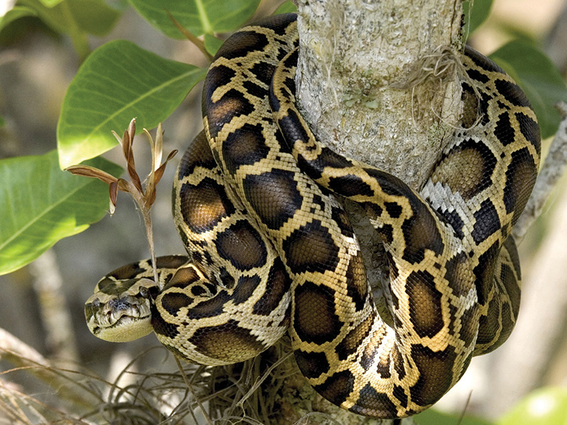 All About Burmese Pythons