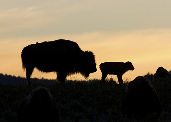 Bison with calf in Yellowstone. Photo: Melissa Dowland/NCMNS