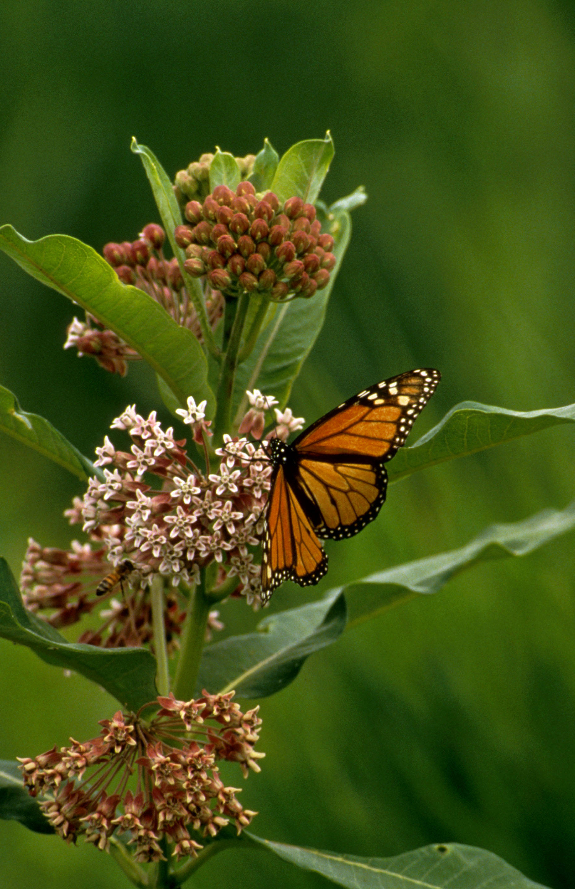 Monarch butterfly (U.S. Fish and Wildlife Service)