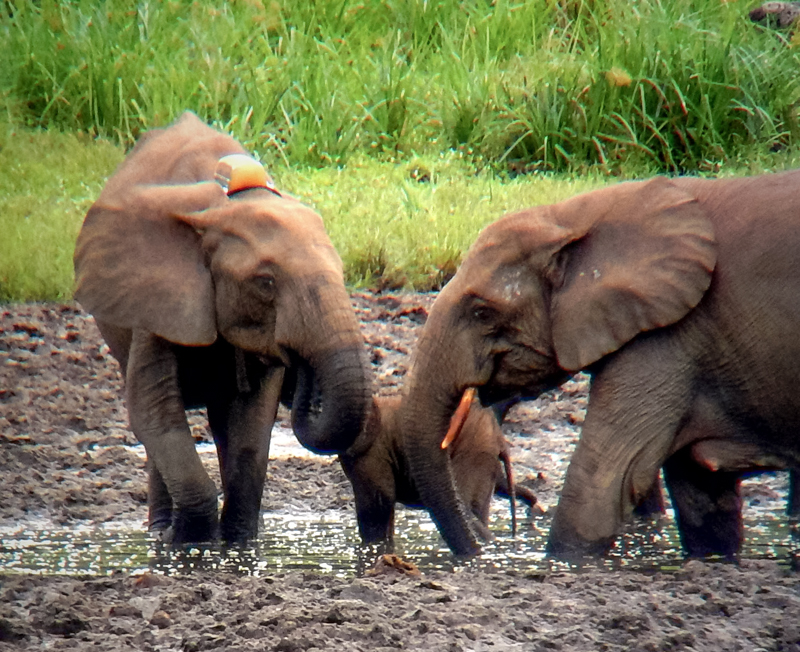 Marijo the elephant and her family in Gabon.