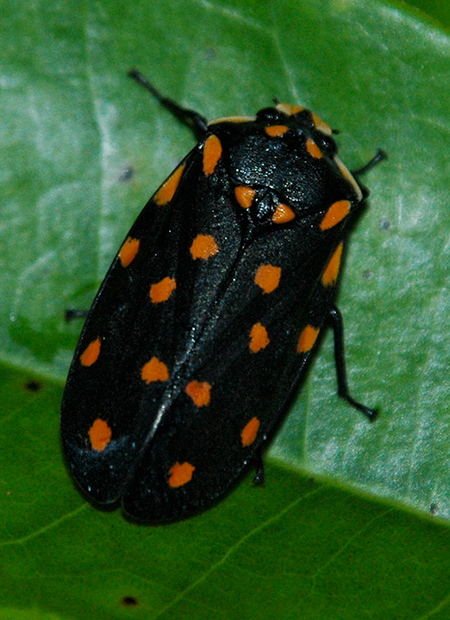 A spittlebug, family Cercopidae, from Borneo