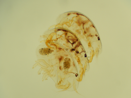 A [risqu�] stack of entocytherids (Uncinocythere columbia)