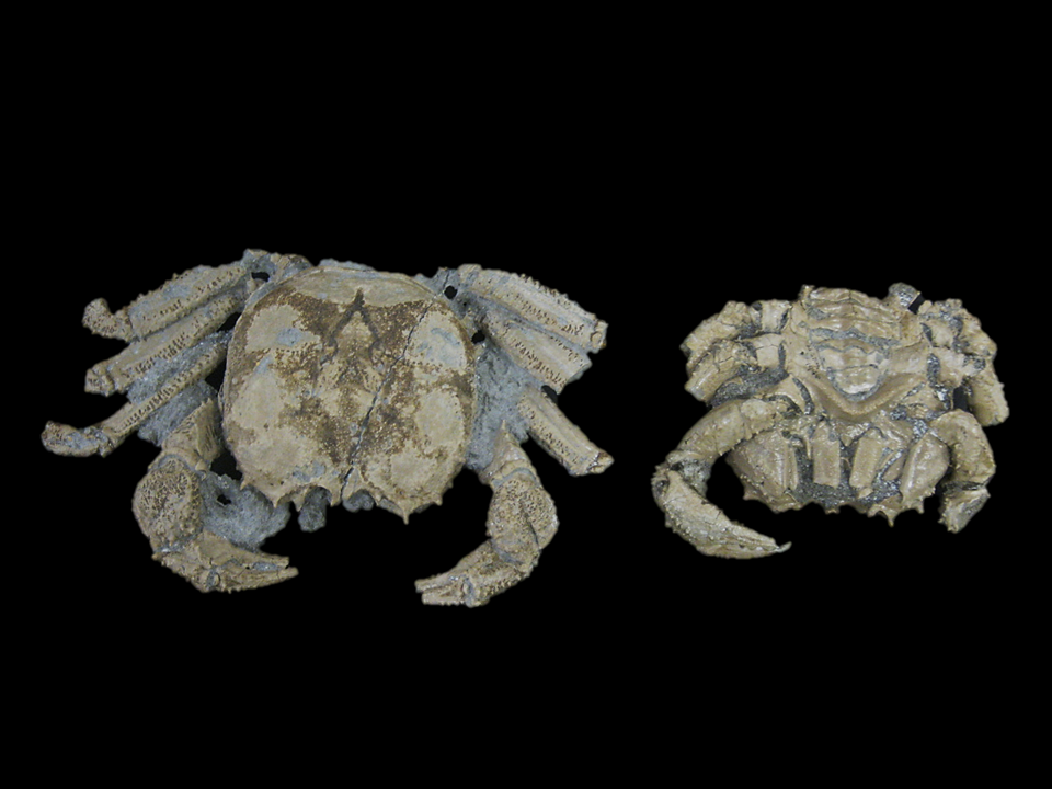 Avitelmessus grapsoideus, Cretaceous, Columbus County, North Carolina