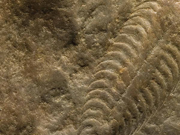 Pteridinium carolinaensis, Ediacaran, Stanly County, North Carolina