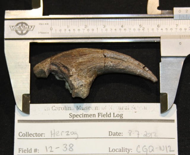 Hand claw from the therizinosaurian dinosaur Falcarius from the Cretaceous of Utah.