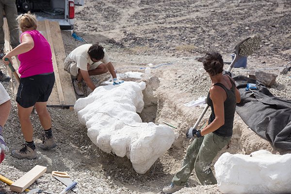 Staff and students of the Paleontology Research Lab excavated the backbone of a sauropod dinosaur from the famous Late Jurassic Morrison Formation.
