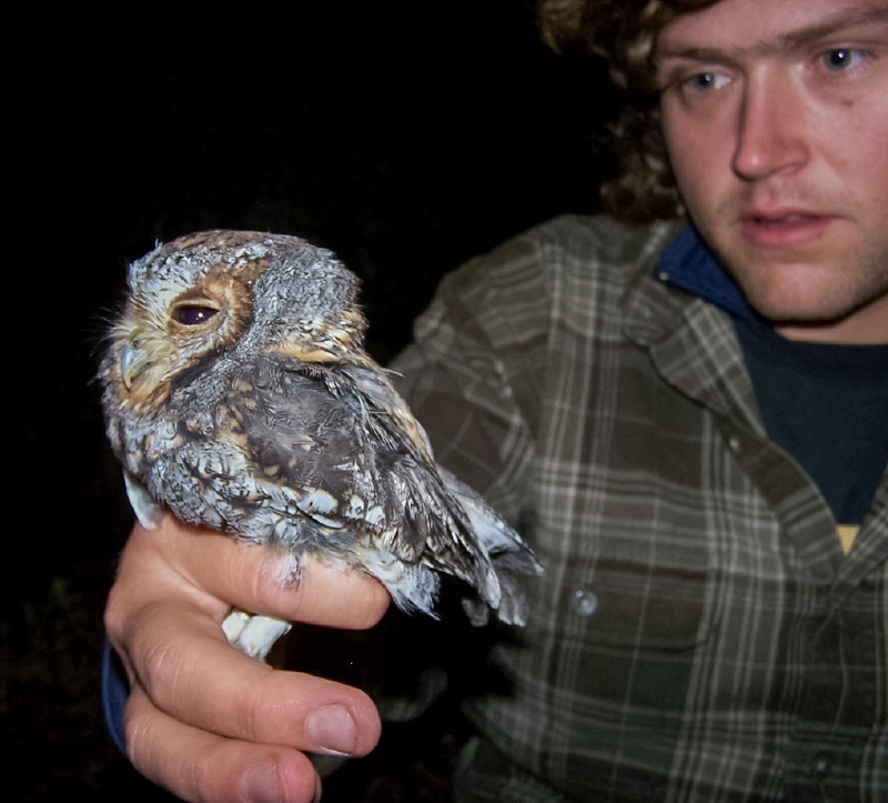 The flammulated owl is the second-smallest owl in the Americas, about an inch larger than the elf owl.