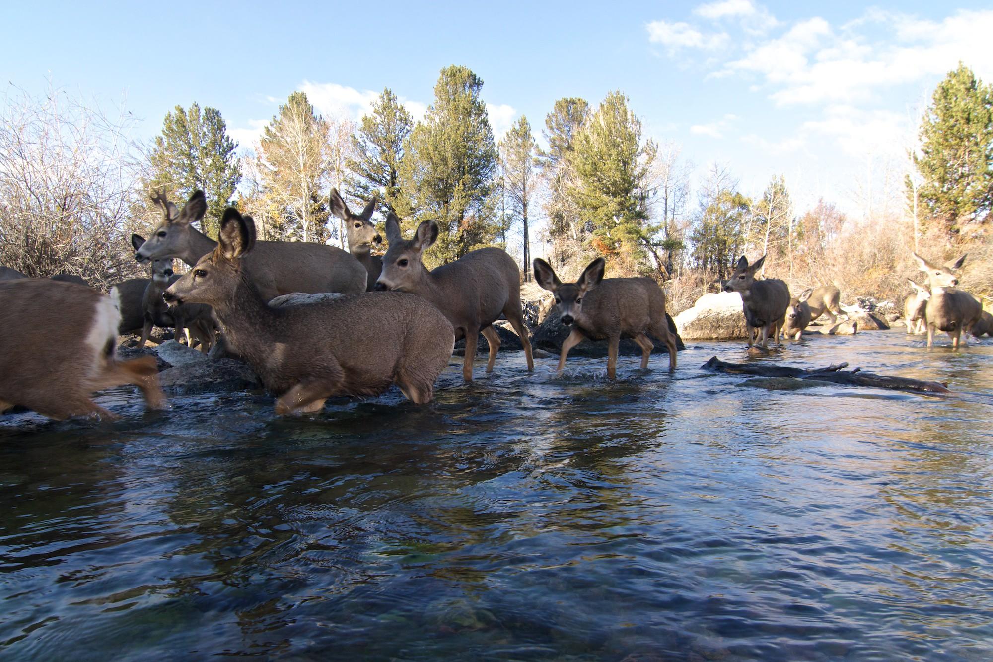 A herd of mule deer crossing a stream during their migration (Photo: Joe Riis.)