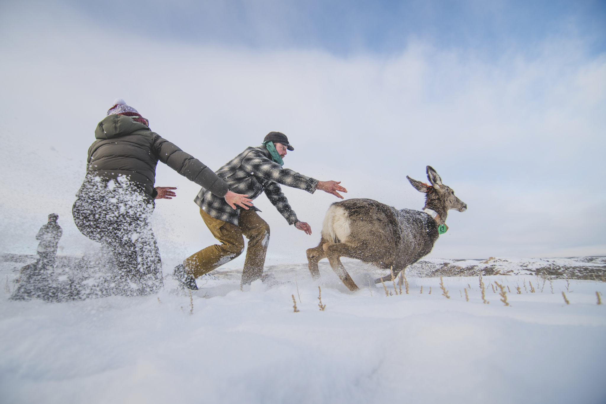Anna and the team release a newly radio-collared deer. (Photo: Benjamin Kraushaar.)