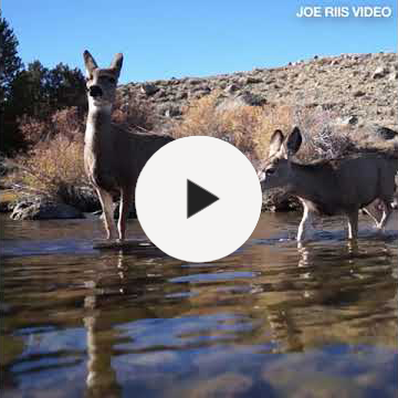 Youtube video about the migration of mule deer