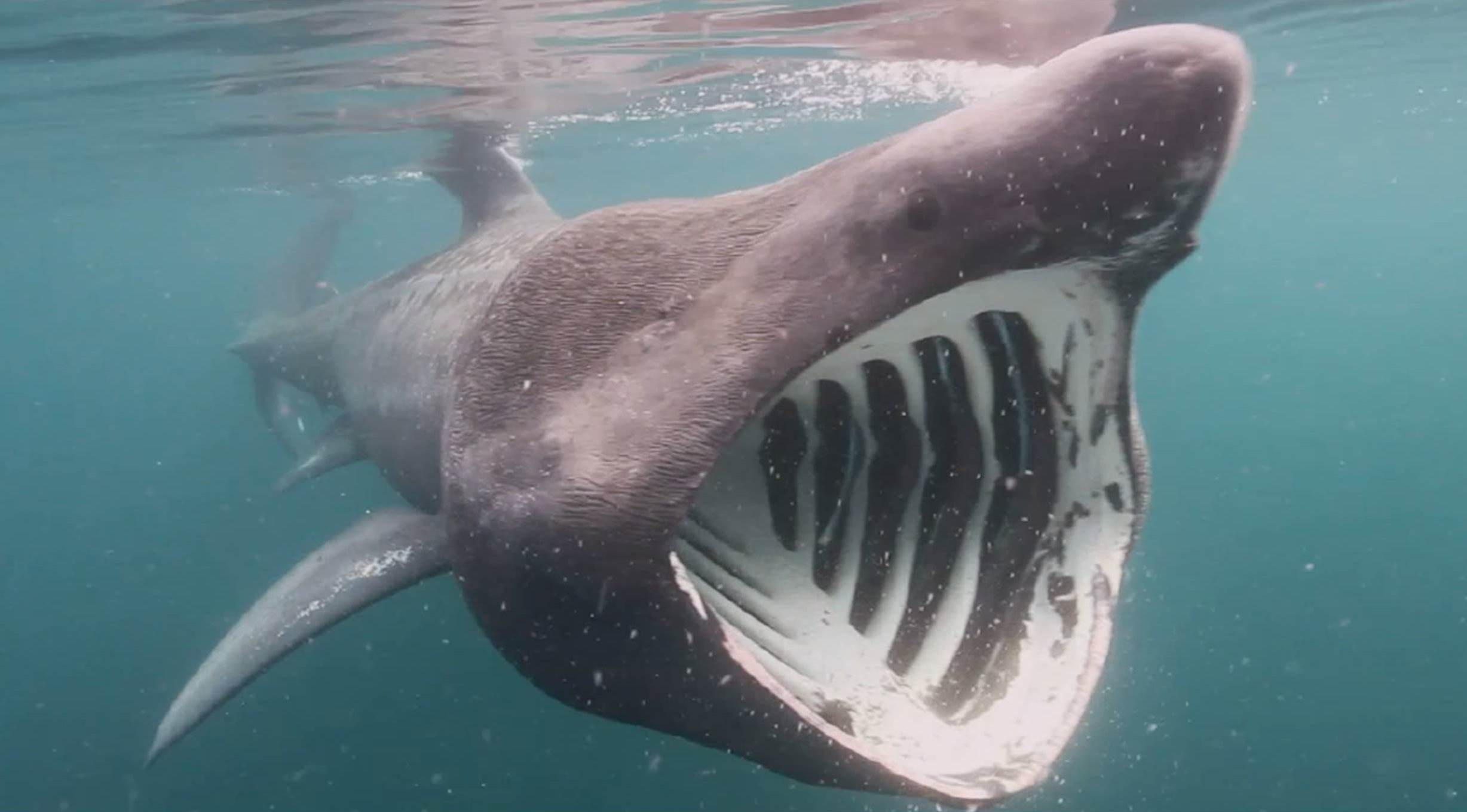 Basking sharks are the second-largest fish and feed on plankton they filter with their enormous mouths. (Photo: Philip Doherty.)