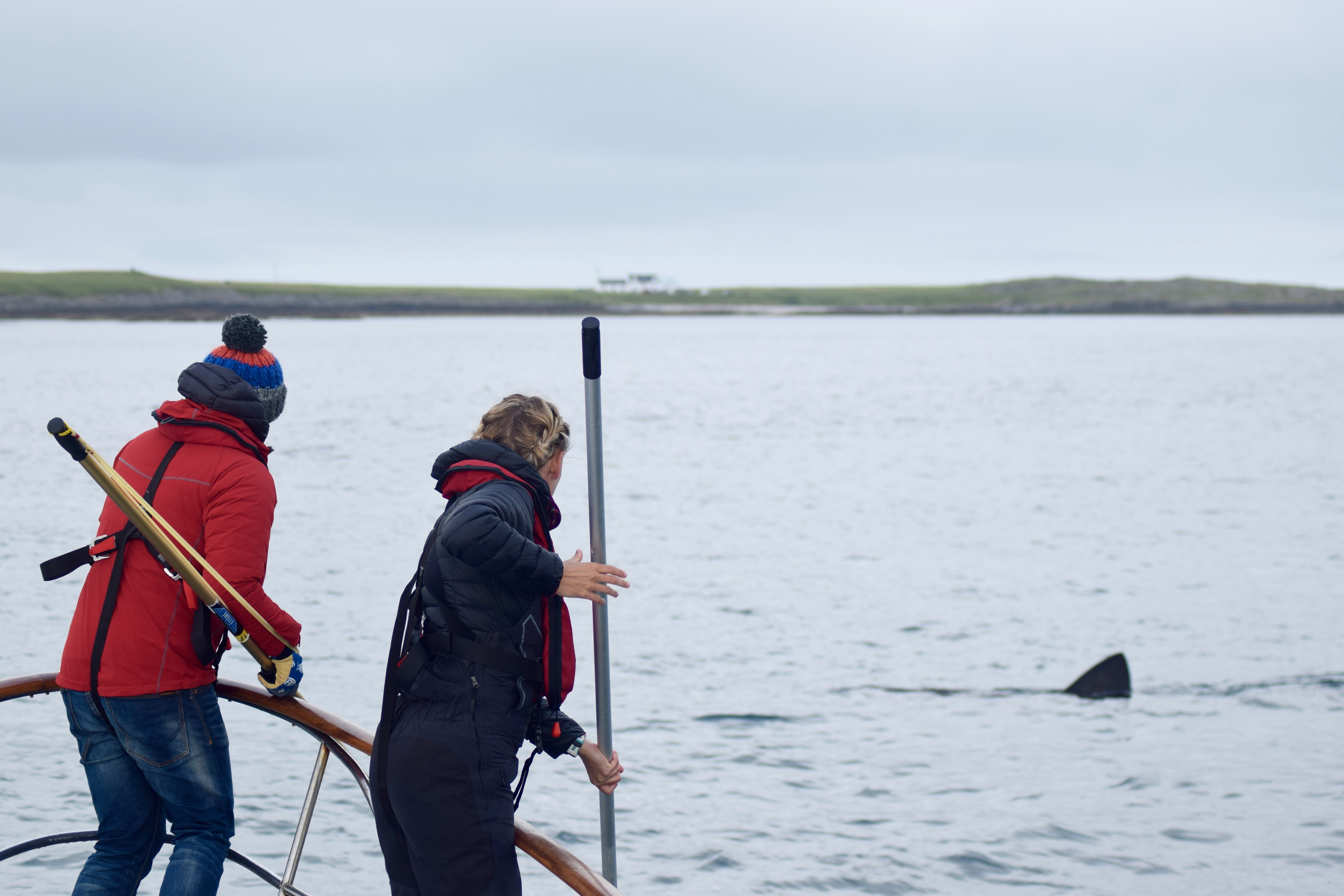 Scientists use long poles to attach tracking tags to basking sharks off the coast of Scotland. (Photo: Owen Exeter)