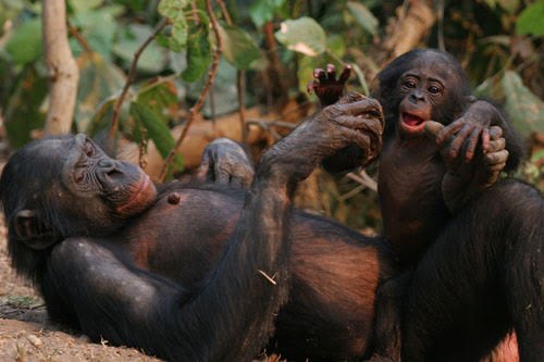 Ebumbe the bonobo with her offspring.