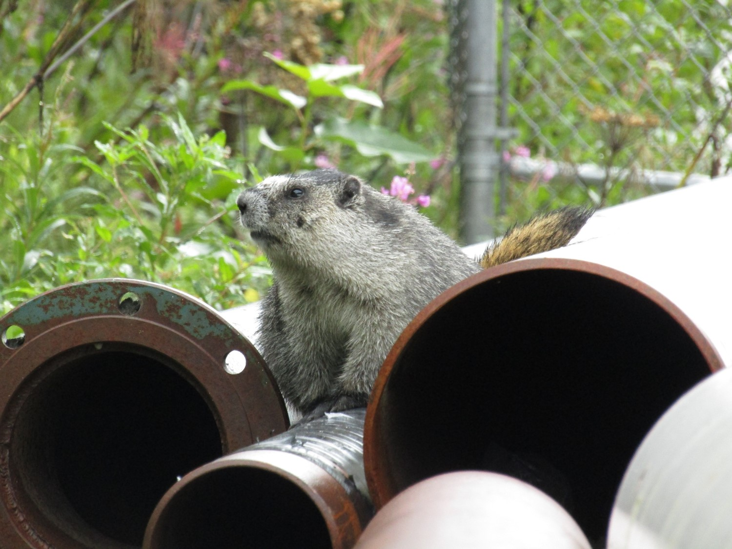 John Snow the marmot using some pipes as a hideout.