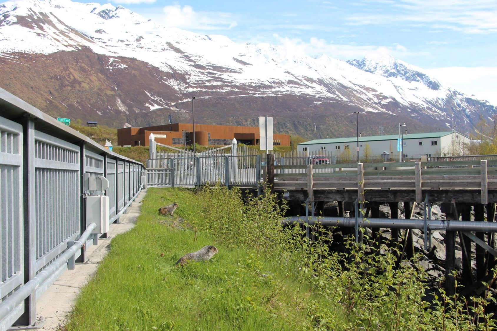 Marmots at the ferry terminal.