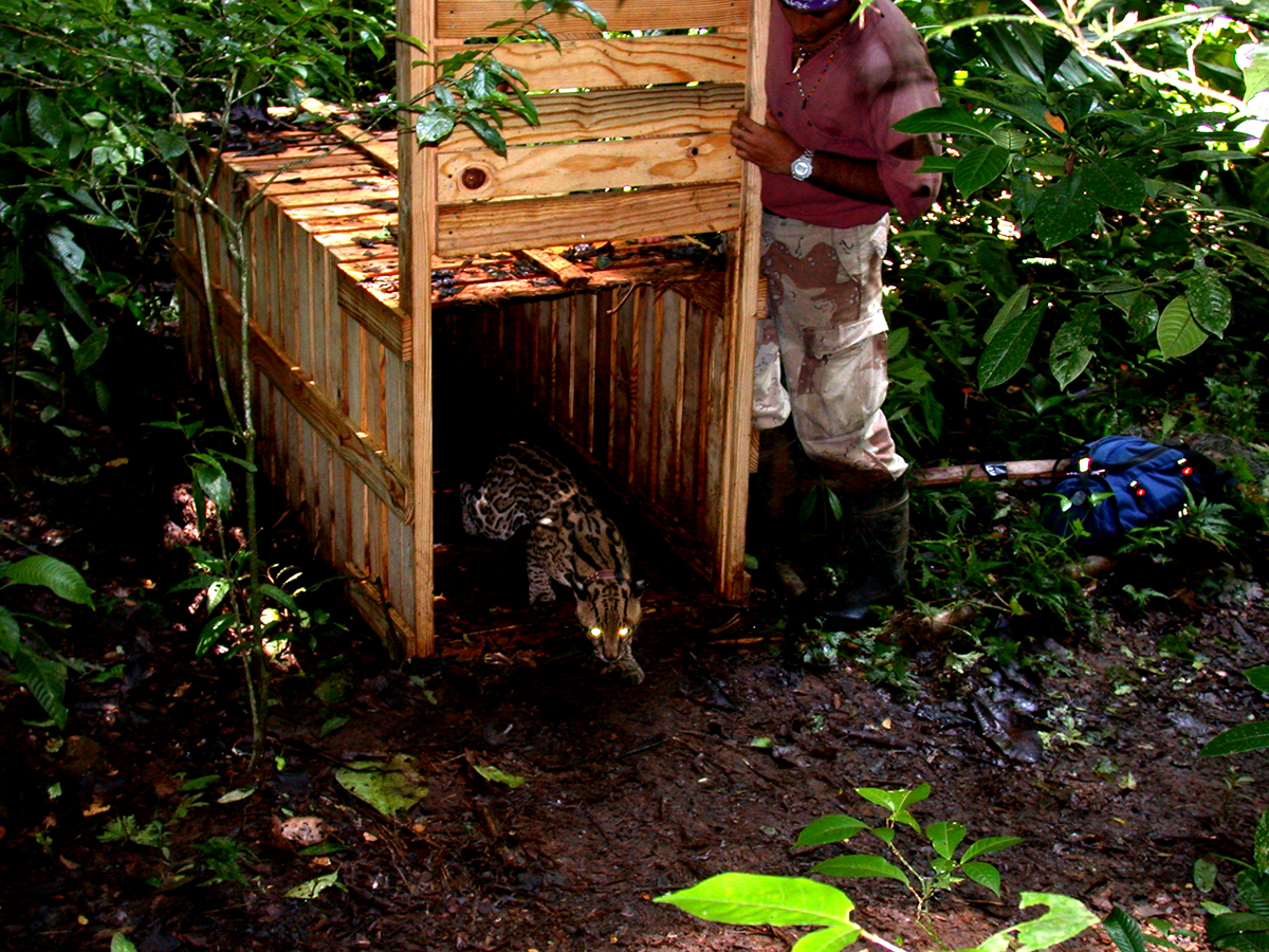 Ricardo letting Bobby out of the trap after his first capture. This big trap was built for puma or jaguars, but caught the world's largest ocelot instead.