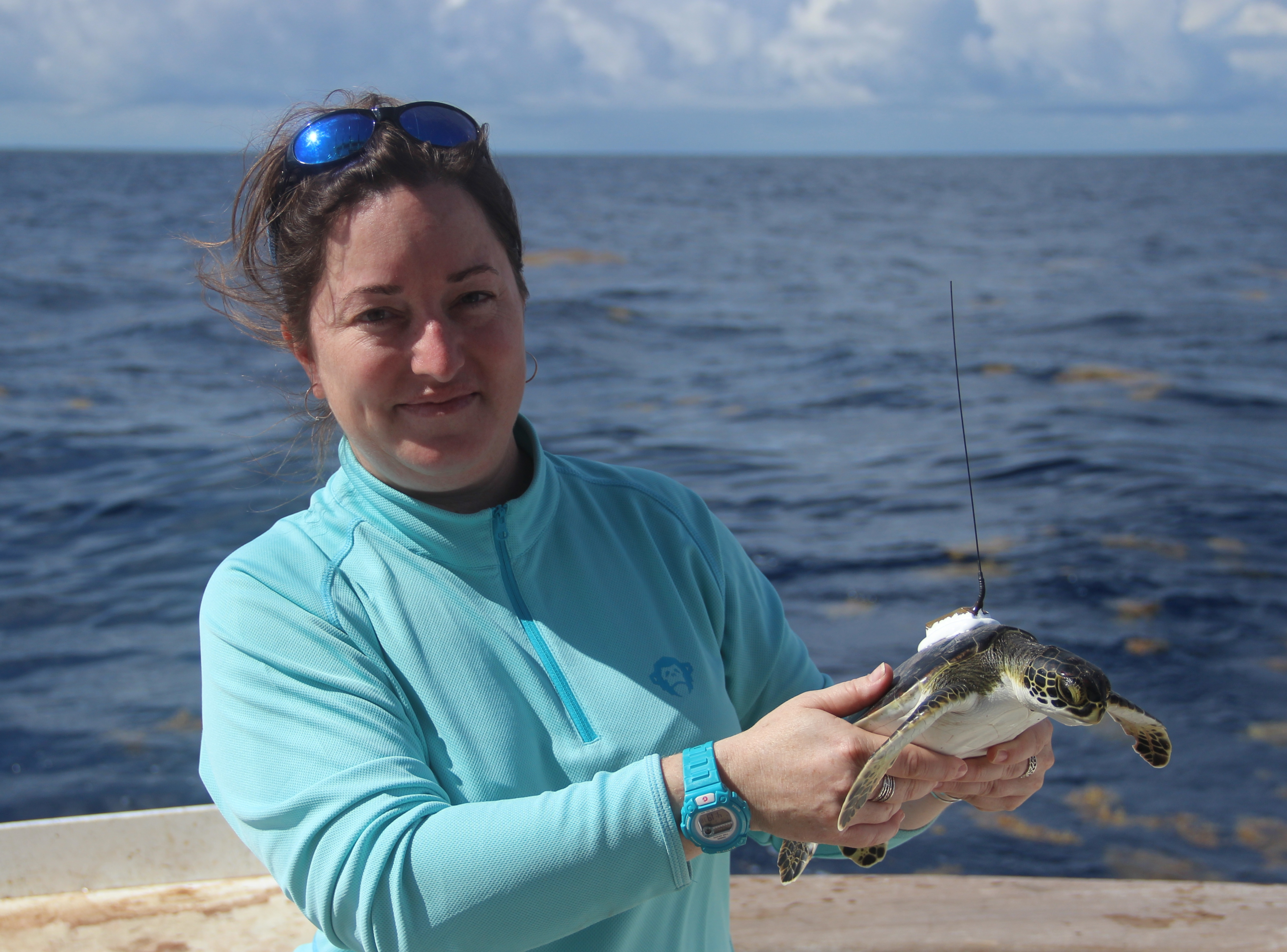 Dr Kate Mansfield shows off a new smaller tracking device on a young turtle.