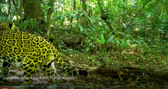 Pacman the jaguar was easy to recognize on camera trap pictures due to the spot that looks like his video game namesake.